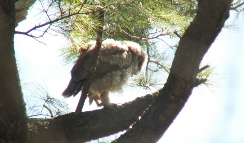 Great Horned Owl - baby 2 walks on lower tree limp - Thicksons Woods - Whitby - Ontario