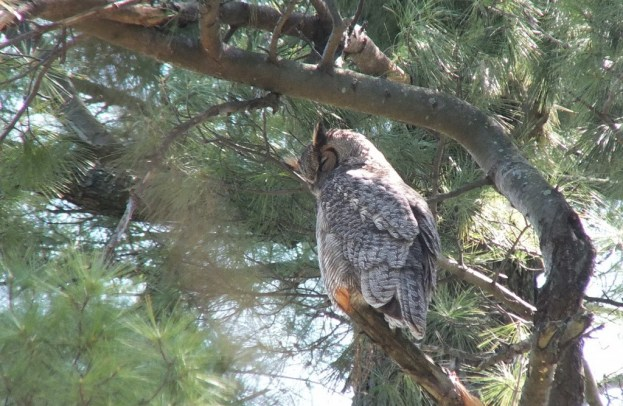 Great Horned Owl - mother sits in tree - Thicksons Woods - Whitby - Ontario