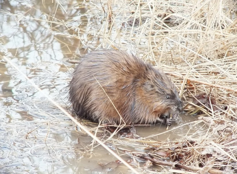 Muskrat chews on stick - Cranberry Marsh - Lynde Shores Conservation Area