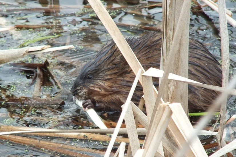Muskrat - enjoys a fresh plant root - Cranberry Marsh - Lynde Shores Conservation Area