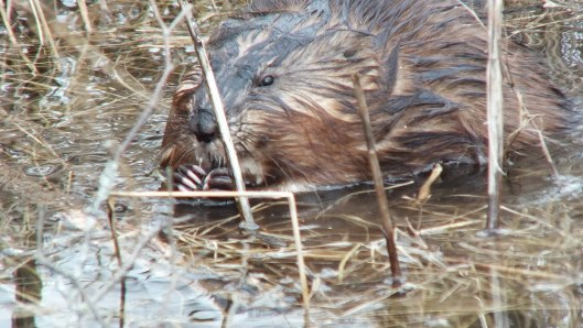 Muskrat holds a stick and looks at me - Cranberry Marsh - Lynde Shores Conservation Area