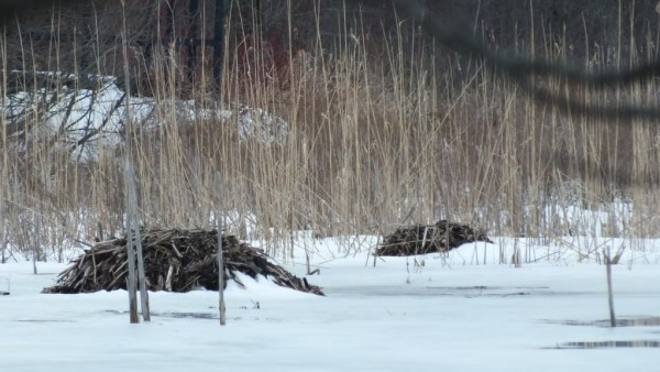 Muskrat mounds - push-ups - West Cranberry Tract - Whitby - Ontario