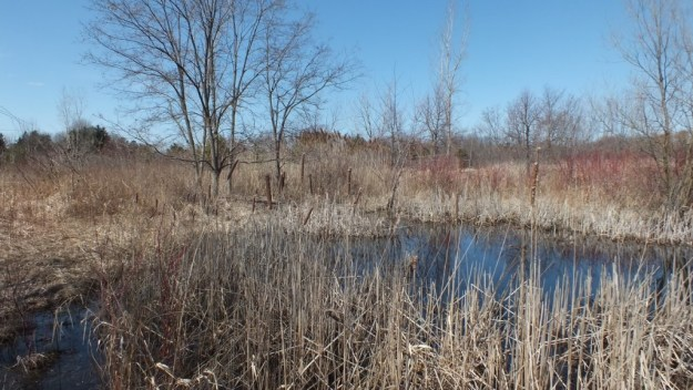 Muskrat pond in rural Mississauga - Ontario