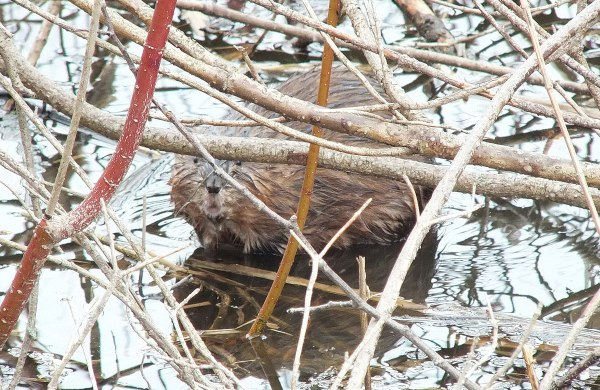 Muskrat - stares at my from waters edge - Cranberry Marsh - Lynde Shores Conservation Area