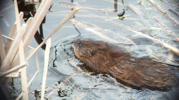 Muskrat - swims through cat-tails - Cranberry Marsh - Lynde Shores Conservation Area