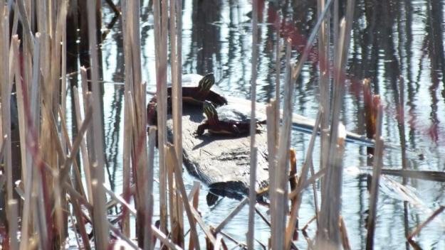 Painted Turles in muskrat pond - Mississauga - Ontario