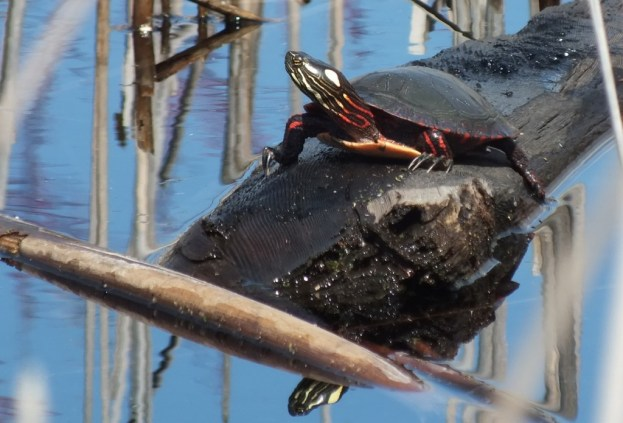 Painted Turtle sits on log in muskrat pond - Mississauga - Ontario