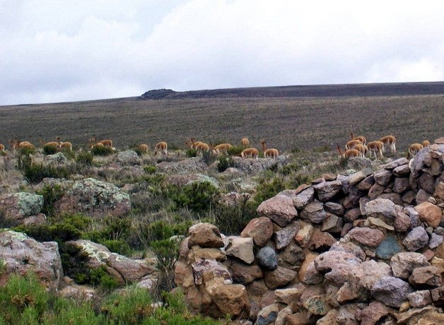 Herd of Vicuna in the National Reserve of Pampas Galeras in Peru, South America.