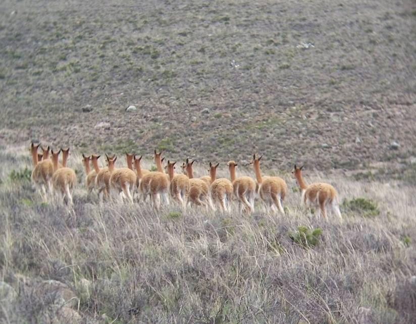 Vicuna herd moves off, Peru