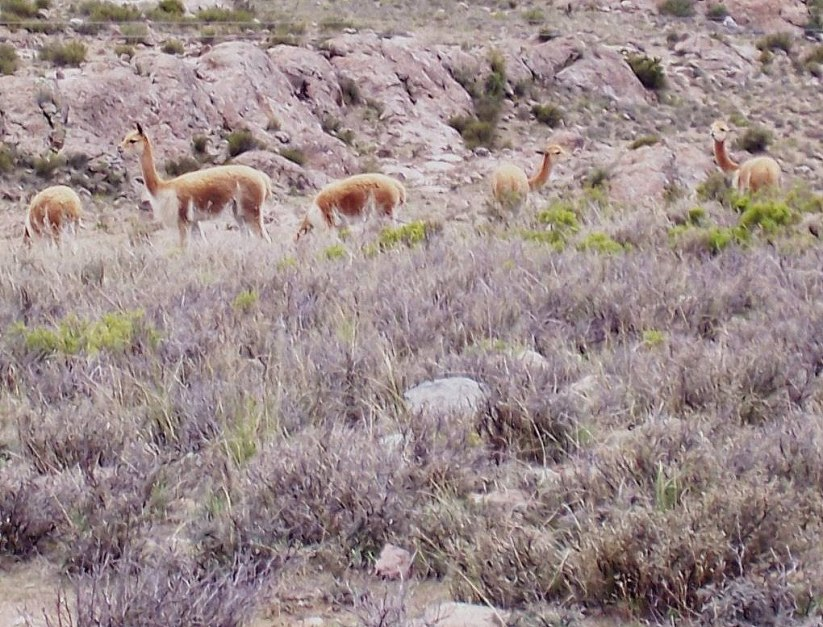 Vicuna stand in field, Peru