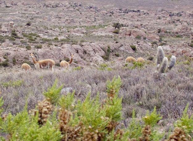 Vicuna turn and look at us, Peru