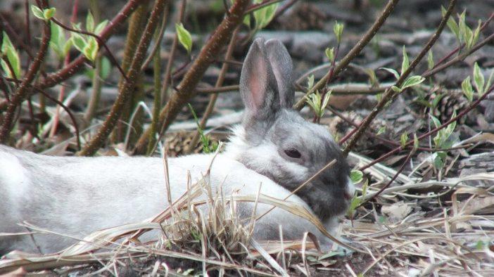 White and grey rabbit at Milliken Park - Toronto - Ontario