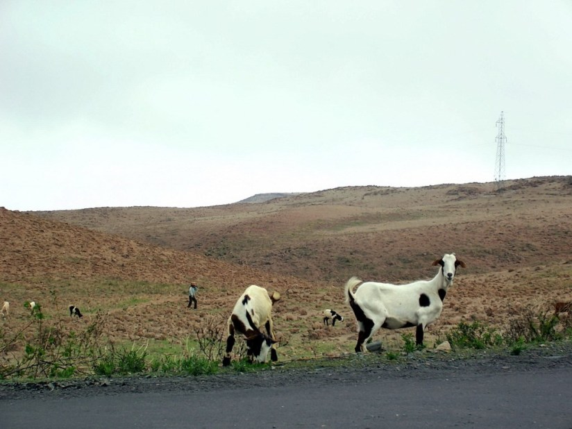 Young girl tends goats along highway 26, Peru