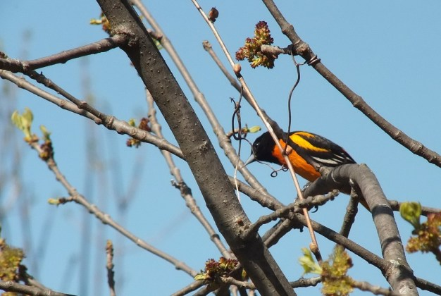 baltimore oriole looks ahead - thicksons woods - whitby - ontario