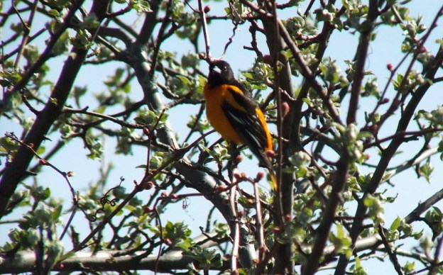 baltimore oriole -sits in tree - thicksons woods - whitby - ontario