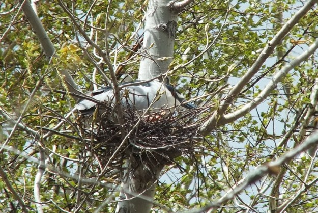 Black-crowned Night Heron resting in its nest at Tommy Thompson Park, in Toronto, Ontario, Canada