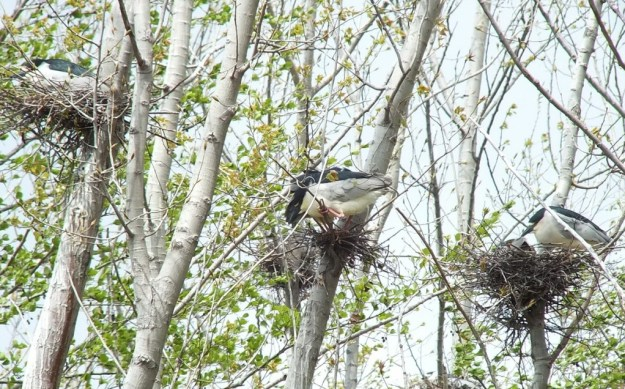 Three Black-crowned Night Herons in their nests at Tommy Thompson Park, in Toronto, Ontario, Canada