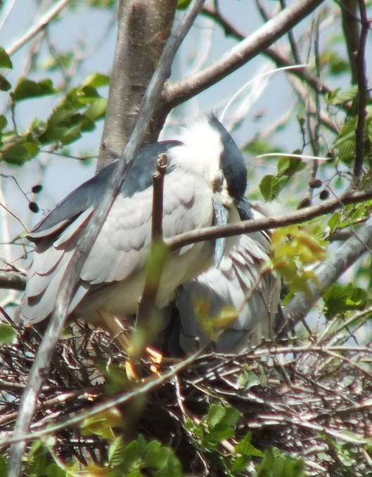 black crowned night heron - sleeping in nest --- toronto - ontario - may 2013