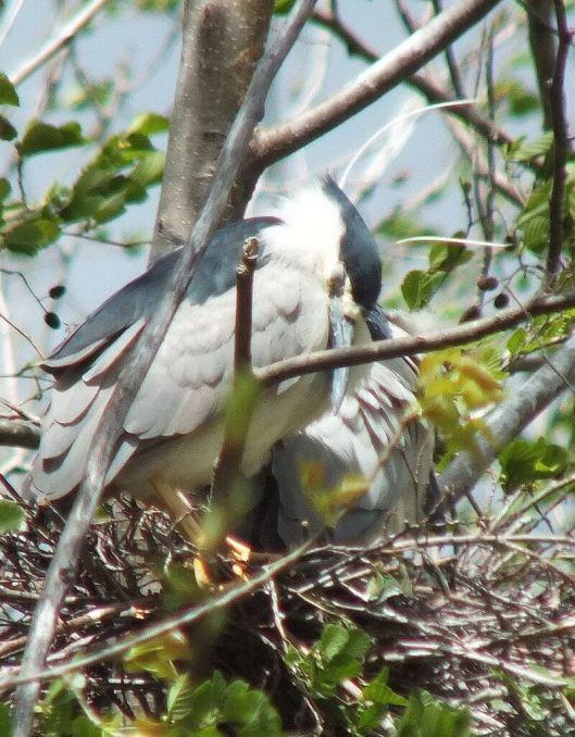 black crowned night heron - sleeping in nest --- toronto - ontario - may 2013