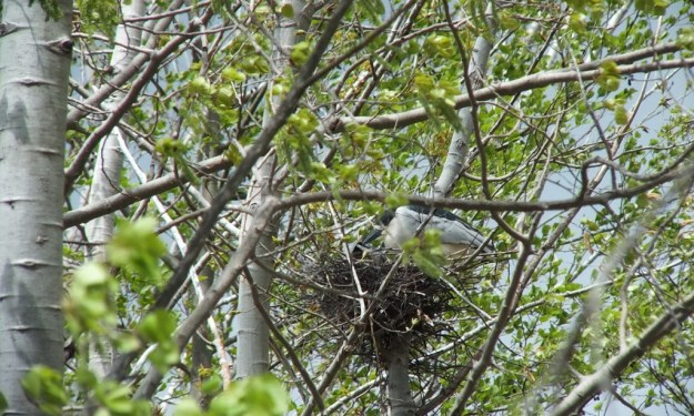 Black-crowned Night Herons sitting in their nest at Tommy Thompson Park, in Toronto, Ontario, Canada