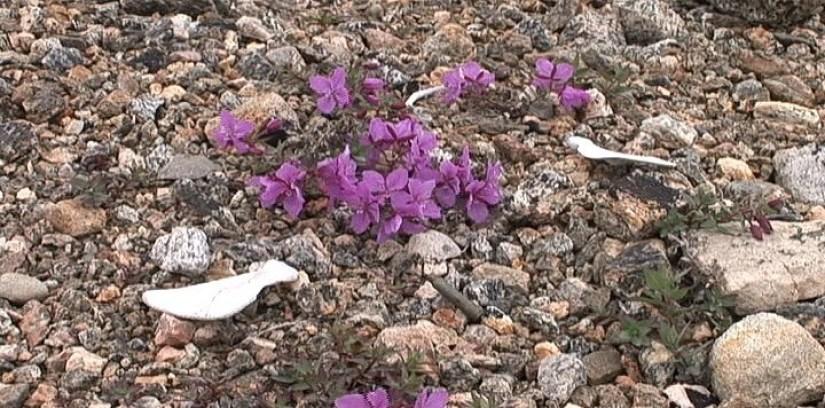 bones and gun shell among flowers - kekerten island - nunavut