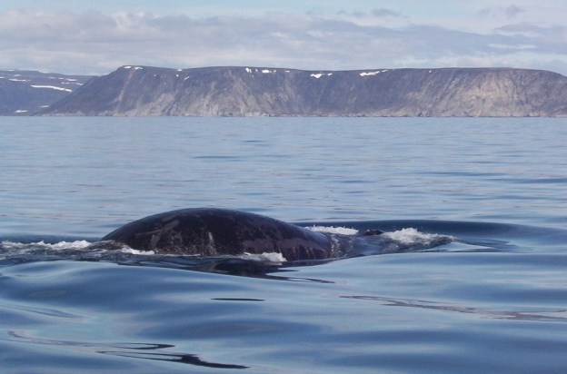 bowhead whale reveals closeup of its head - off baffin island