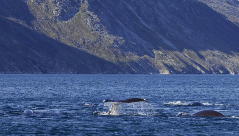 bowhead whales skim-feed together - off baffin island - nunavut - canada