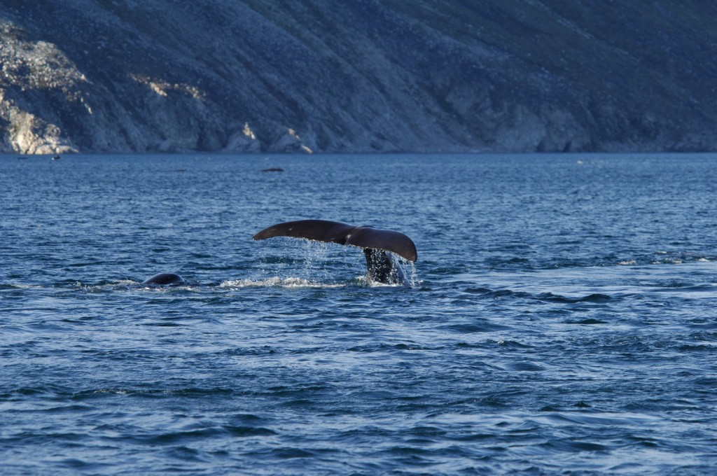 photograph of bowhead whales swimming in a fjord on Baffin Island, Nunavut, Canada.