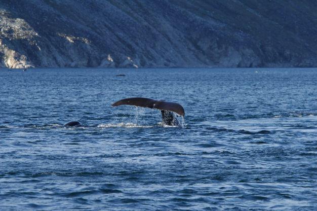 bowhead whales swim in fjord - cumberland sound - baffin island - canada