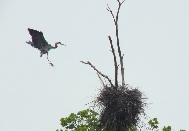 great blue heron - in flight to nest 3 -- oxtongue lake - ontario