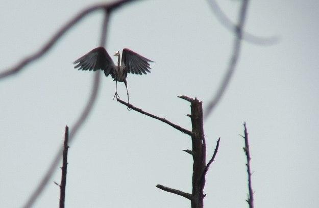 great blue heron - takes flight 4 - oxtongue lake - ontario