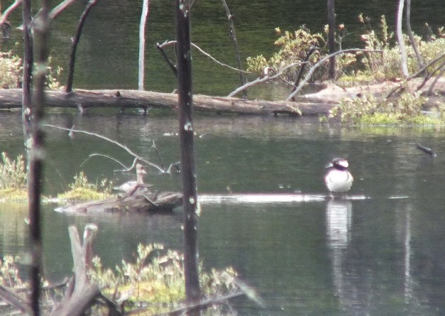 hooded merganser ducks - in swamp - oxtongue lake - ontario
