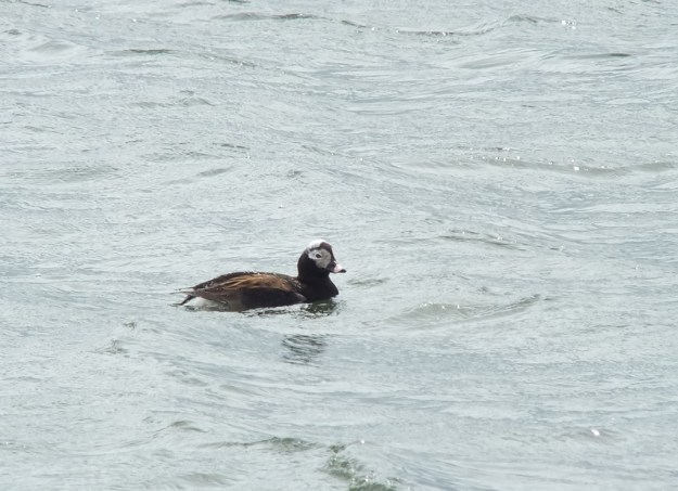 long-tailed duck - male at tommy thompson park - toronto - ontario