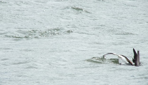 long-tailed duck - the dive part 2 - tommy thompson park - toronto - ontario