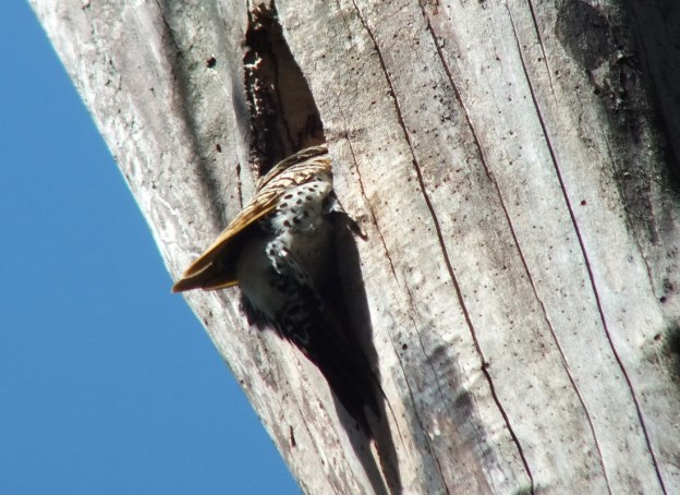 northern flicker - head in tree - thicksons woods - whitby - ontario