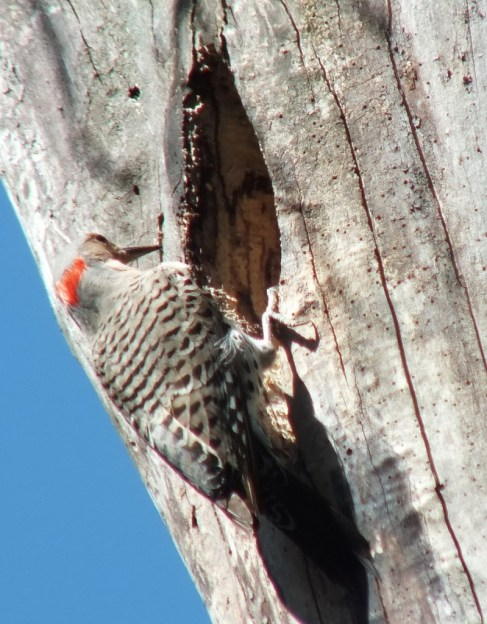 northern flicker - looks into nest - thicksons woods - whitby - ontario