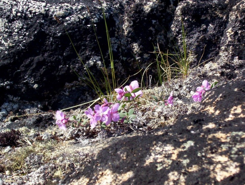 pink flowers growing on kekerten island - nunavut