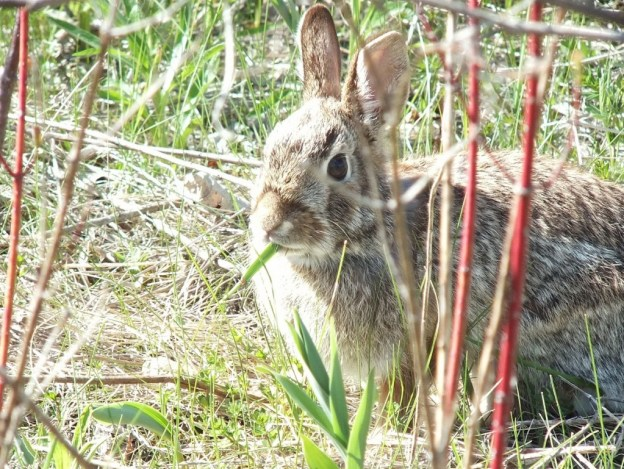 rabbit eats grass in thicksons woods - whitby - ontario