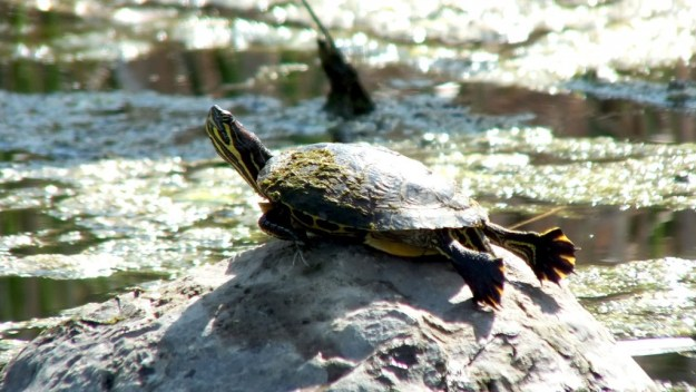 red eared eared slider turtle - rests on rock in pond - milliken park - toronto -- ontario