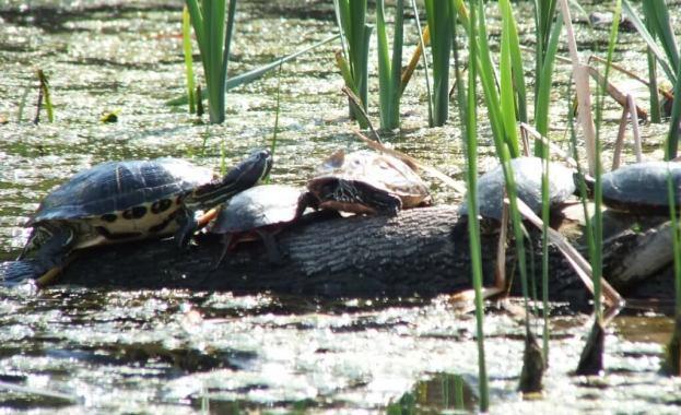 red eared slider --- midland painted turtles - milliken park pond - toronto - ontario