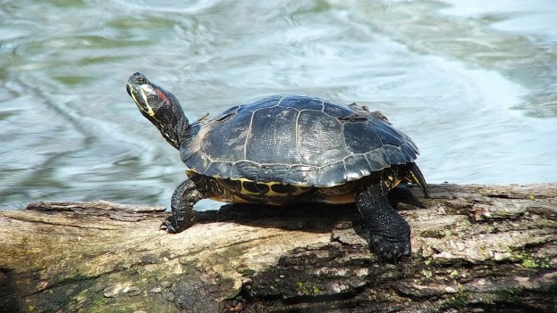 red eared slider - on a log - Milliken Park - Toronto - Ontario - Canada