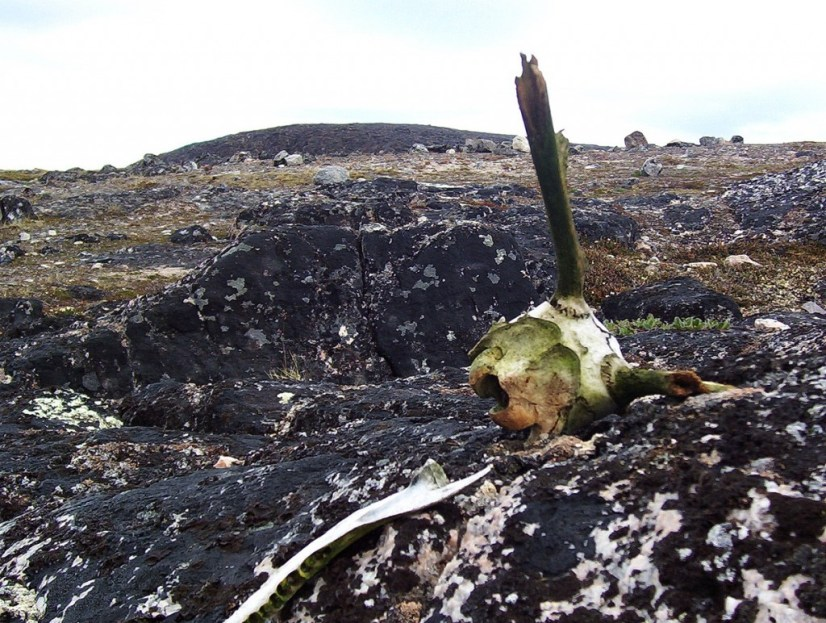 rock and strewn bones - kerkerten island - nunavut - canada
