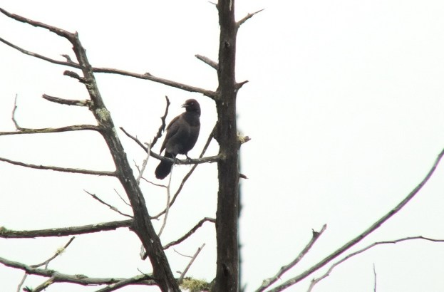 rusty blackbird - in swamp - oxtongue lake - ontario