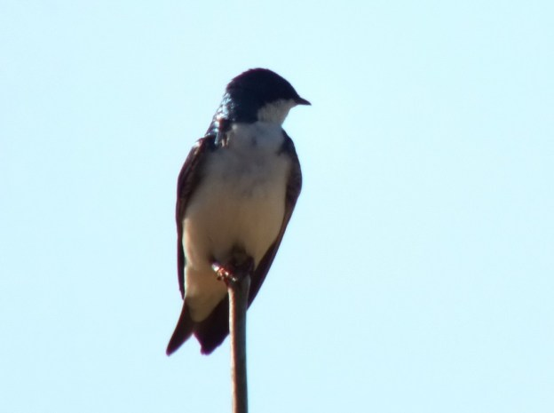 tree swallow - - - thicksons woods meadow - whitby - ontario