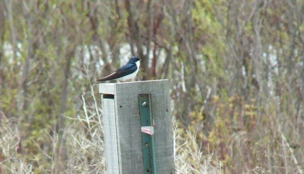 tree swallow - tommy thompson park - toronto - ontario