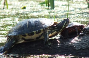 turtles at milliken park - toronto - ontario