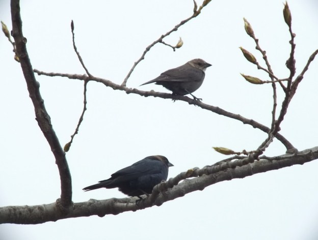 two brown headed cow bird - in tree together - ontario