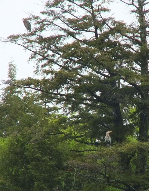 two great blue herons - sit on tree limbs - oxtongue lake - ontario