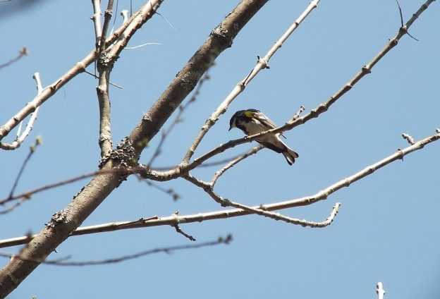 yellow rumped warbler - myrthle version - in tree - oxtongue lake - ontario