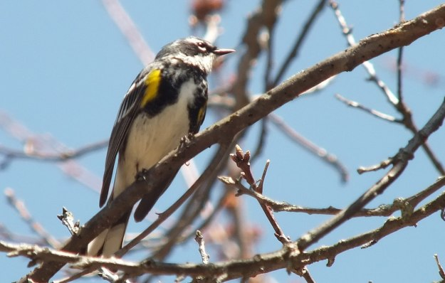 yellow rumped warbler - myrthle version - looks forward in tree - oxtongue lake - ontario